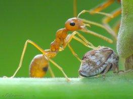 Bài thuốc chữa bệnh xương khớp với tổ kiến vàng