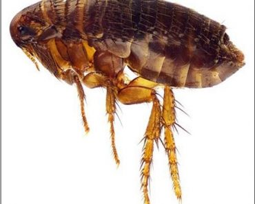 Những cách phòng tránh bọ chét đơn giản, hiệu quả