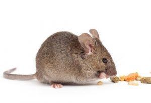 Chuột là nguyên nhân chủ yếu gây ra bệnh dịch hạch