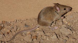 Chuột là một trong những nguyên nhân gây bệnh vàng da xuất huyết