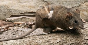 Chuột là một trong những nguyên nhân gây ra bệnh sốt