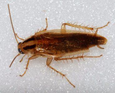 Gián Đức xuất hiện ở Việt Nam và cách tiêu diệt loại côn trùng này