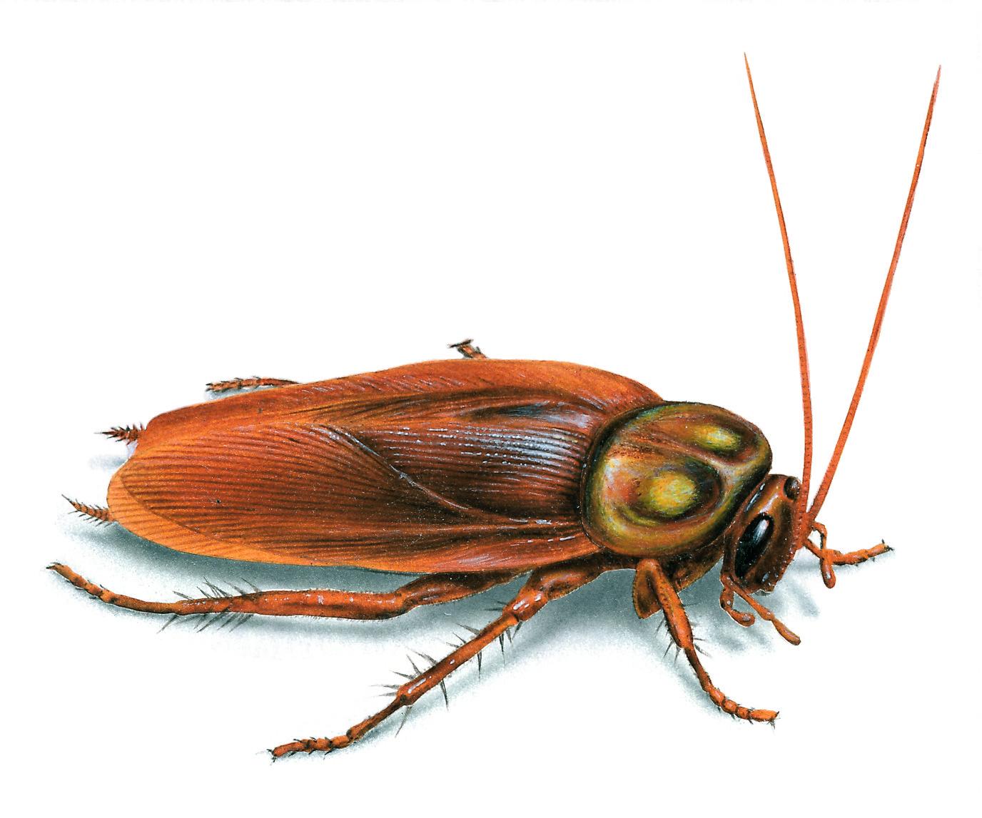 Gián Đức loài côn trùng khó diệt