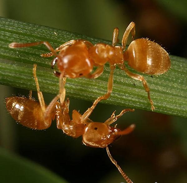 Một số loài kiến thường gặp ở nước ta