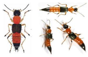 Cách phân biệt và một số nguy hiểm của kiến ba khoang