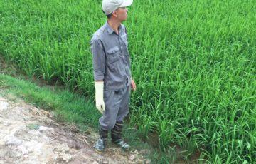 Công ty An Nam diệt chuột hại lúa cho hợp tác xã