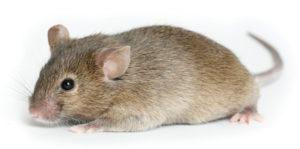 Chuột nhắt và những nguy hiểm mà chúng gây ra