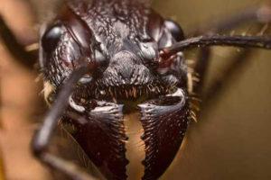 Kiến đạn- loài kiến nguy hiểm cho con người
