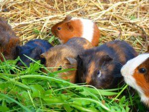 Một số bí quyết nuôi chuột lang khỏe mạnh