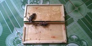 Một số phương án diệt chuột trên trần nhà hiệu quả