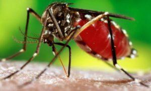 Muỗi aedes- nguyên nhân gây đại dịch sốt xuất huyết vào mùa hè