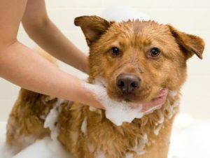 Một số cách trị ve chó dân gian hiệu quả