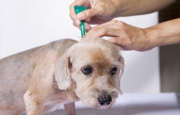 cách diệt Bọ chét ở chó