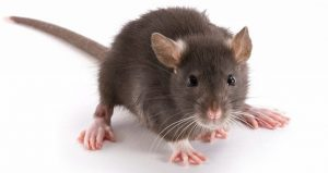 công ty diệt chuột tại Bạc Liêu