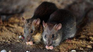 công ty diệt chuột tại Bắc Ninh