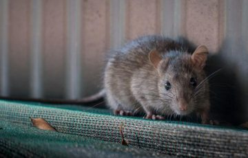 công ty diệt chuột tại Lai Châu