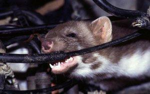 Chuột chui vào xe ô tô cắn phá