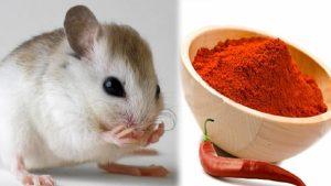 Diệt chuột bằng bột ớt
