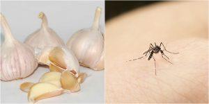cách diệt muỗi tận gốc bằng tỏi