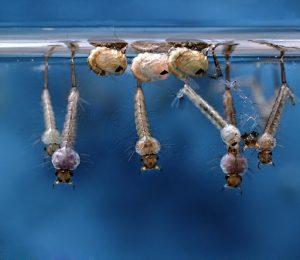 Lăng quăng, ấu trùng của muỗi