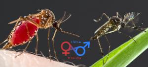 Phân biệt muỗi đực và muỗi cái