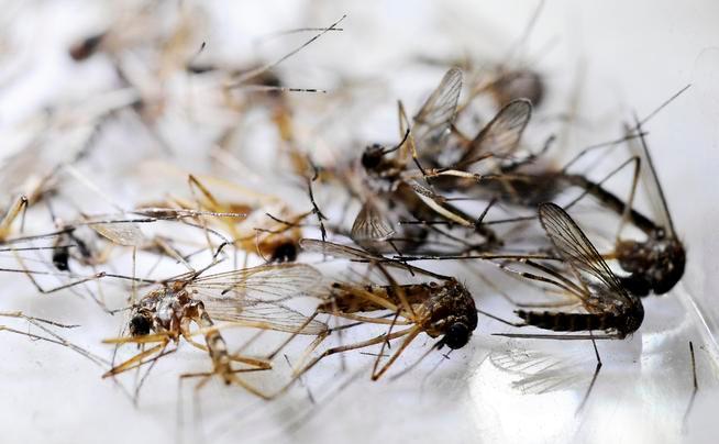 Muỗi rất ghét tỏi